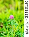 紫詰草 花 赤クローバーの写真 23586180