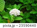 紫陽花 23590440