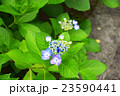 紫陽花 23590441