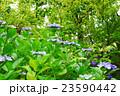 紫陽花 23590442
