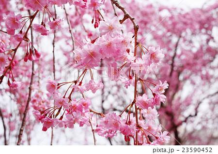 桜 23590452