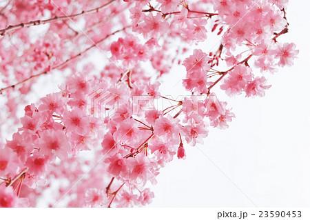 桜 23590453
