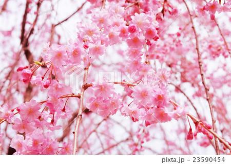 桜 23590454