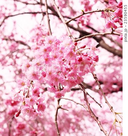 桜 23590455