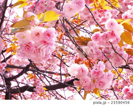 桜 23590456