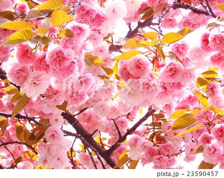桜 23590457