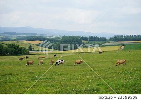 北海道の大地と牛 23599508