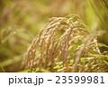 稲穂 美味しいお米  23599981