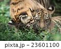 じゃれ合う子トラ 23601100
