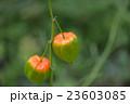 ホオズキ 23603085