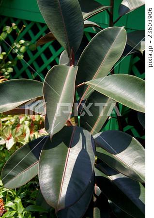 珍しい地植えのゴムの木(観葉植物) 23603906
