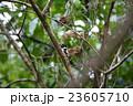 クビワヒロハシ 23605710