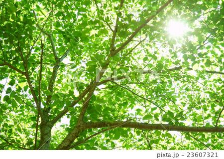 木洩れ日の新緑の写真素材 [2360...