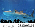 ジンベイザメ 23609384