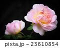 バラ 植物 花の写真 23610854