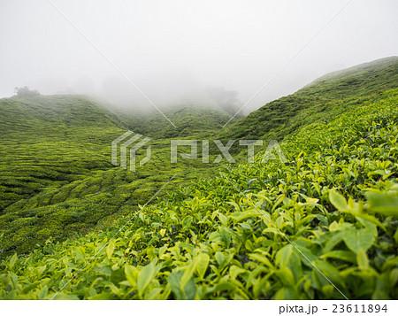 Boh Tea plantation in Cameron highlands 23611894