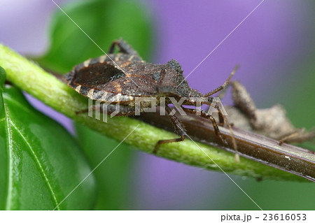 生き物 昆虫 ホオズキカメムシ、アサガオやホオズキを食害。江戸の夏には有り難くない虫だったようです 23616053