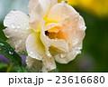 雨上がりのバラ 23616680
