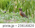アカハラ 鳥 鳥類の写真 23616820