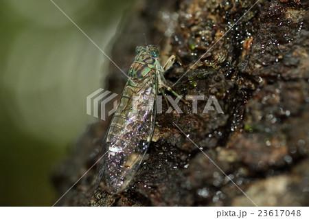 生き物 昆虫 オキナワヒメハルゼミ、沖縄本島と久米島周辺で見られるそうです。小さくて美しいセミです 23617048