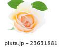 バラ・クレアオースチン  23631881