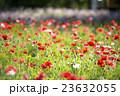 ポピー 花畑 花の写真 23632055