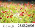 ポピー 花畑 花の写真 23632056