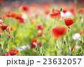 ポピー 花 咲くの写真 23632057