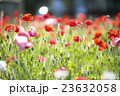 ポピー 花畑 花の写真 23632058