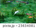 池 モネの池 鯉の写真 23634081