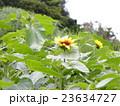 夏の花といえば黄色いヒマワリ 23634727