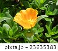 ポーチュラカのオレンジ色の花 23635383