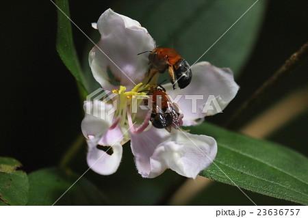 生き物 昆虫 ミナミスジボソフトハナバチ、山原の山中。二頭が仲良くノボタンの花で蜜集め中① 23636757