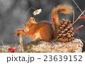 リス りす 栗鼠の写真 23639152