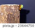 [ セミの羽化 03-10 ]ミンミンゼミの羽化 インターバル撮影 固定撮影 セミ せみ セミ 23644750