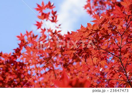 鮮やかな紅葉と青空 23647473
