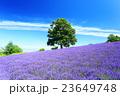 北海道 ラベンダー 富良野の写真 23649748