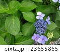 紫陽花  23655865