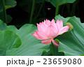 古代蓮 ハス 花の写真 23659080