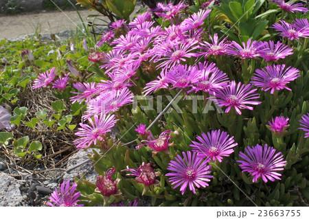 ピンク色の可憐な花達 23663755