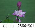 花びらの細いハス 八重茶碗蓮 23664501