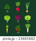 ベジタブル 野菜 組み合わせのイラスト 23665682