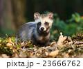 タヌキ 狸 たぬきの写真 23666762
