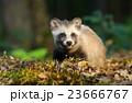 タヌキ 狸 たぬきの写真 23666767