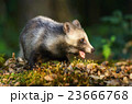 タヌキ 狸 たぬきの写真 23666768