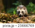 タヌキ 狸 たぬきの写真 23666769