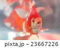 金魚 23667226