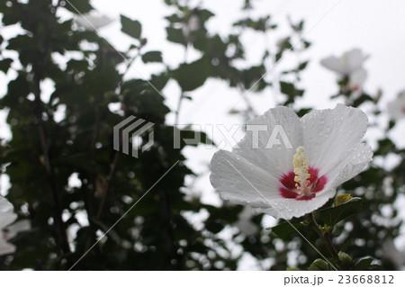 雨に滴る花 23668812