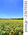 夏の風物詩 沖縄 満開のひまわり畑 宮古島 23670582
