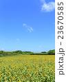 夏の風物詩 沖縄 満開のひまわり畑 宮古島 23670585